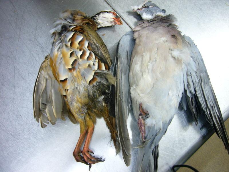 Pigeon_et_perdreau_3